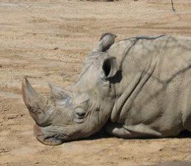 rhino sleep